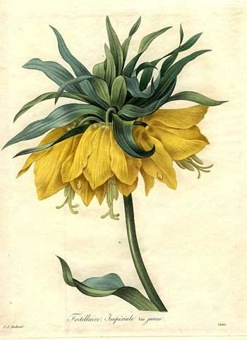 Crown Imperial Fritillary, 1833