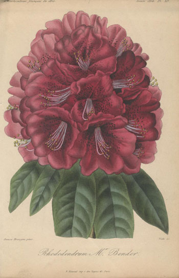 1856 Francois Herincq Rhododendron Mr. Bender Lithograph