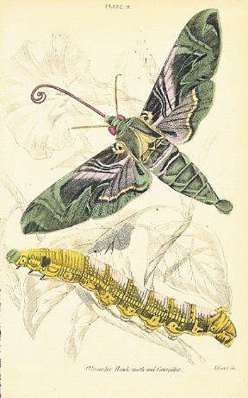 Oleander Hawk Moth and Caterpillar