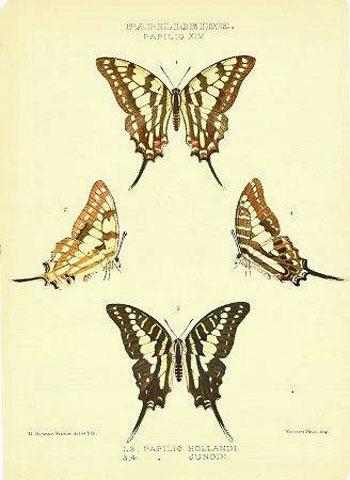Papilionidae. Papilio XIV. 1, 2. Papilio Hollandi. 3, 4. Papilio Junodi