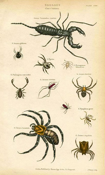 Zoology. Class Crustaccea. Genus Tarantulus candata.