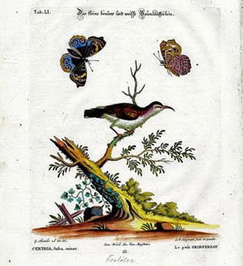 The Small Brown-White Threecreeper