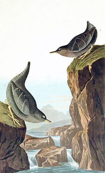 Columbian Water Ouzel, Arctic Water Ouzel, Bartram's Vireo, Short-legged Pewee, Rocky Mountain Fly-catcher