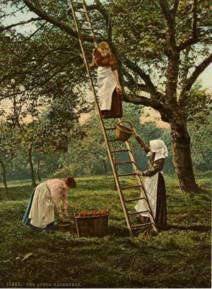 Cueillette de pommes, lieu inconnu