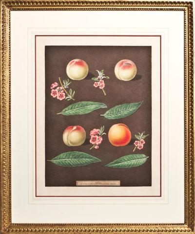 Wall Art: Plate 25 - White Avant Peach, Bears Red Avant, White Magdalen, Red Magdalen