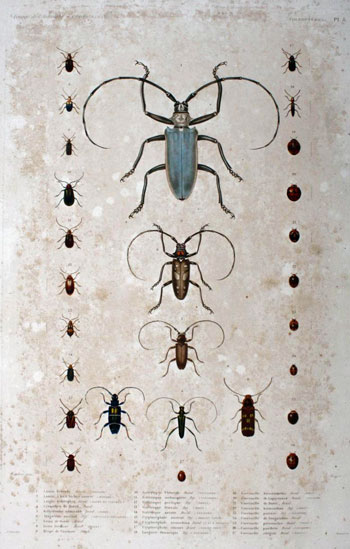 Plate 8 on Coleoptera