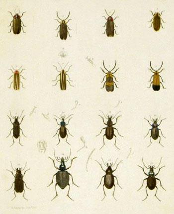Color Plate of Beetles