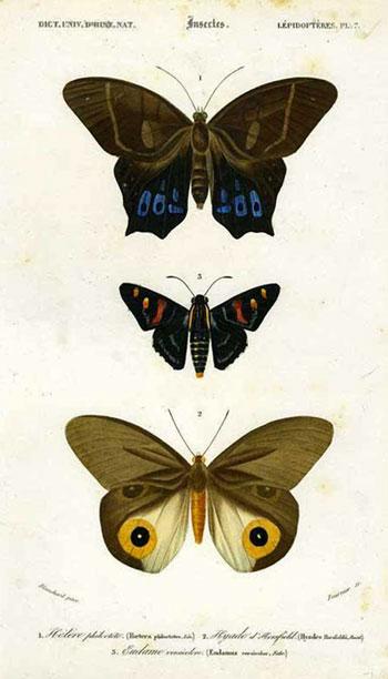 Hetere Phioclete, Hyade d'Horsfield, Eudame versicolore from the Dictionaire Universelle d'Histoire Naturel