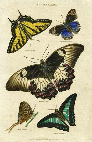 Butterflies. Papilo Turnus (Monarch); Papilio Aegeu; Papilio Sarpedon; Cynthia Orythia and Thecla Sugriva
