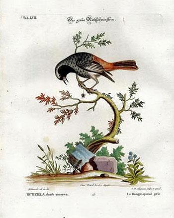 The Grey Redstart
