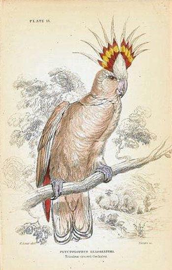 Plyctolophus Leadbeateri. Tricolour-crested Cockatoo